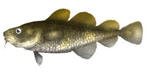 Greenland cod
