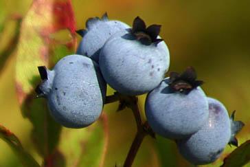 Bleuets au Saguenay